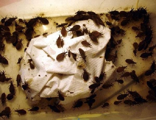 Tại Hà Nội, từng có gia đình phát hiện tới 8.000 con bọ xít hút máu trong nhà.