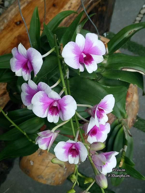 Hoa lan của chị Thanh đang khoe sắc rực rỡ.