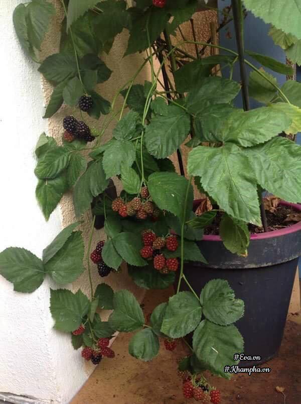 Chị trồng quất và dâu mỗi thứ một ít ở góc ban công nhỏ của mình.
