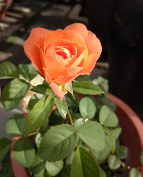 Ngoài trồng hoa lan, chị còn trồng hồng cổ phù hợp với khí hậu miền Trung.