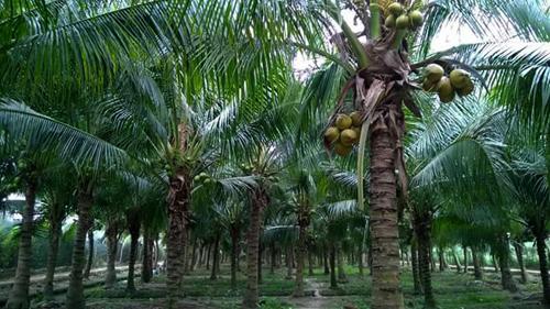 Vườn dừa nhà chị Kiều có khoảng 500 gốc, trong đó có 100 gốc là dừa dứa cho giá trị kinh tế cao.