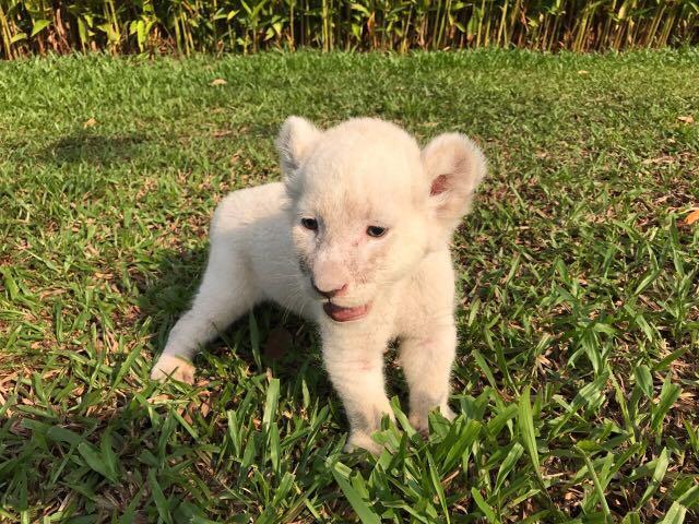 Sư tử con thích thú được tắm nắng trong khuôn viên Vinpearl Safari