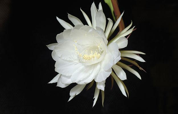 Hãy ước một điều đặc biệt vào đúng thời điểm hoa Kadapul nở