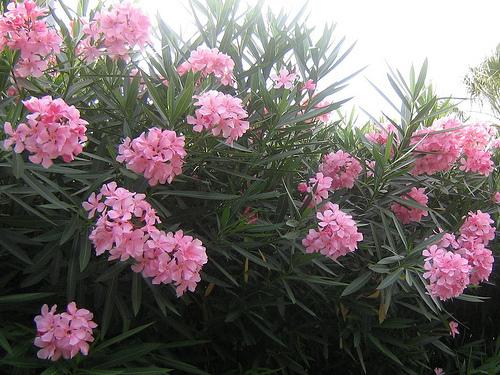 Cây trúc đào (tên khoa học là Nerium oleander L.)