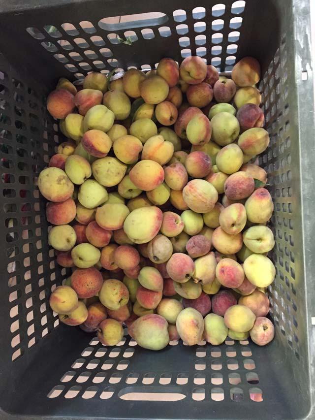 Những quả đào Sơn La chín đầu tiên đã có mặt tại thị trường Hà Nội với giá khá rẻ.