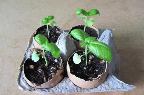 Bạn có thể trồng cây giống vào vỏ trứng rồi chôn xuống đất. Bạn vừa không phải thay bỏ bầu đất vừa cung cấp canxi cho cây. Ảnh: Poultryguide.