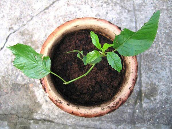 Sau khoảng vài tháng, cây sẽ lên được vài cm, bạn có thể đưa cây trồng vào đất.
