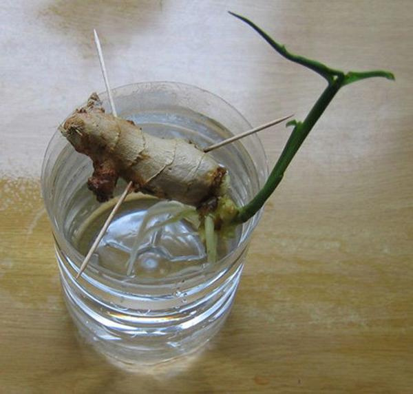 Cứ 2 ngày thì thay nước cho gừng một lần. Khoảng 5-7 ngày là các nhánh gừng bắt đầu ra lá non và mọc rễ.