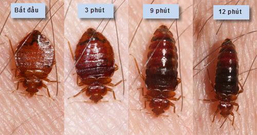 Chỉ sau khoảng 10 phút, rệp giường đã béo múp vì hút máu người.