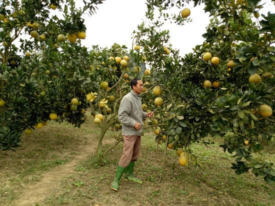 Anh Mai Văn San đang chăm sóc vườn bưởi Diễn sai trĩu quả đã tới ngày thu hoạch.