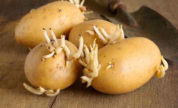 Nhiều người cho rằng mua khoai tây đã mọc mầm chỉ cần cắt bỏ phần mầm đi là không có vấn đề gì về sức khỏe.