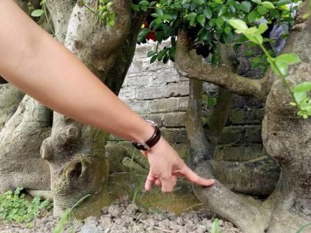 Rễ cây sần xù, uốn lượn tạo nên thế vững chãi...