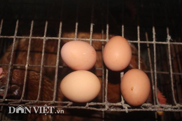 Ngoài đẻ đẻ siêu khỏe, 2 vạn con gà Isa Brao  và Ai Cập lai ông Tràng nuôi còn có chất lượng trứng thơm ngon, phù hợp với nhu cầu người tiêu dùng.