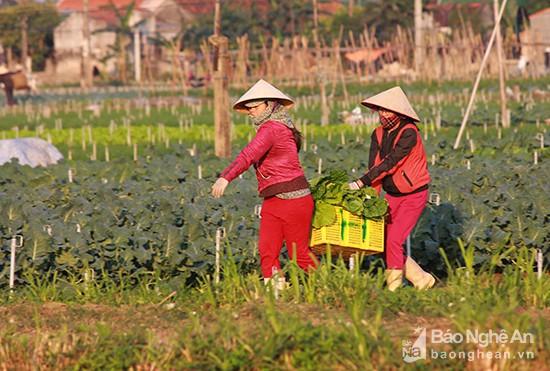 Làng rau khủng nhất xứ Nghệ ngày cuối năm đẹp rực rỡ - Ảnh 7.