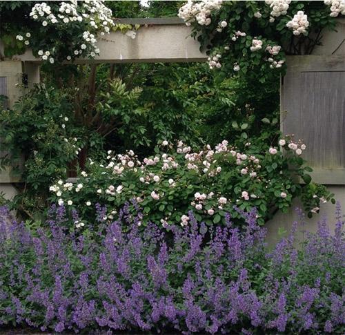 Hoa hồng và hoa môi che kín khung cửa sổ