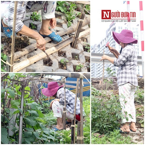 Một người dân trồng mùng tơi và dựng rào cho cà chua leo.