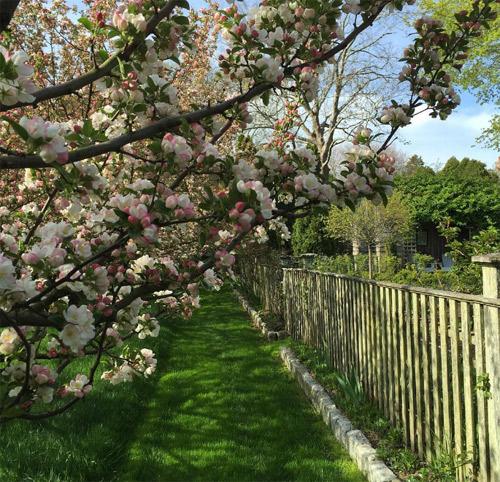 25 cây hoa cherry thường nở hoa vào tháng Năm