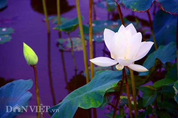 iện đầm sen này đang có 9 loài hoa sen độc, lạ gồm: 4 loài sen trắng, 4 loài sen hồng và một loài sen Nam Bộ.