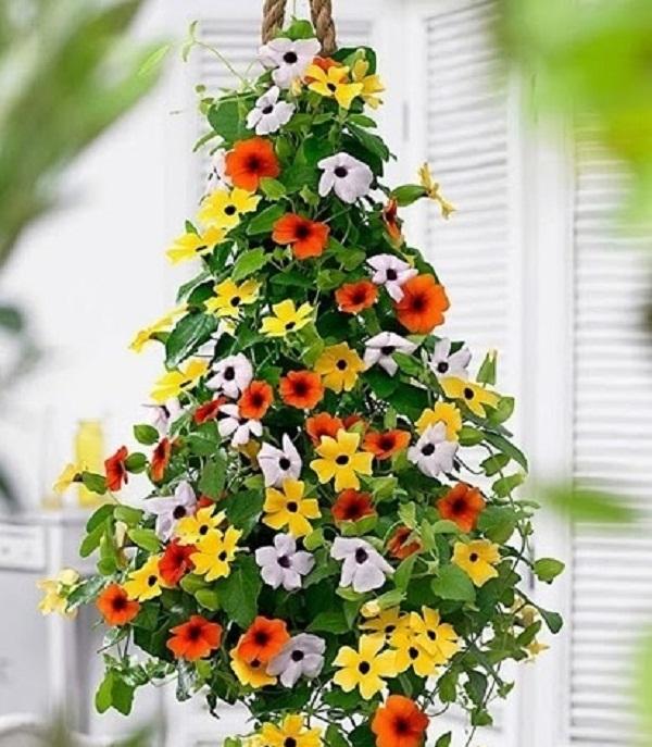 Hoa mắt huyền hình dáng hoa đặc sắc, đáng yêu, hoa nở quanh năm, cây leo rất khỏe, không cần cầu kỳ chăm sóc.