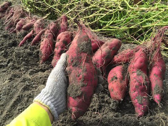 Tuy cùng giống nhưng khoai lang trồng tại Nhật Bản lại được bán giá cực kỳ đắt đỏ