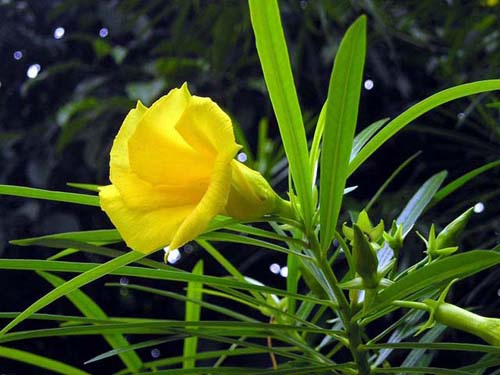 Cây thông thiên (tên khoa học là Thevetia peruviana (Pers.) K. Schum.)