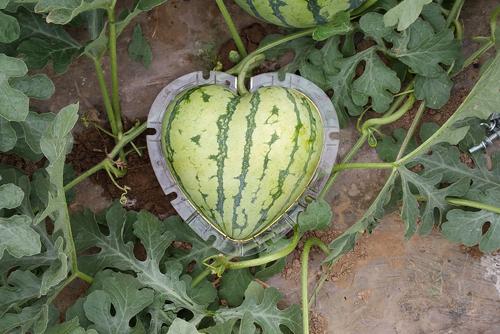 Nhờ vậy, khi cần thu hoạch, bạn sẽ dễ dàng lấy quả ra và tái sử dụng khuôn cho các vụ sau.