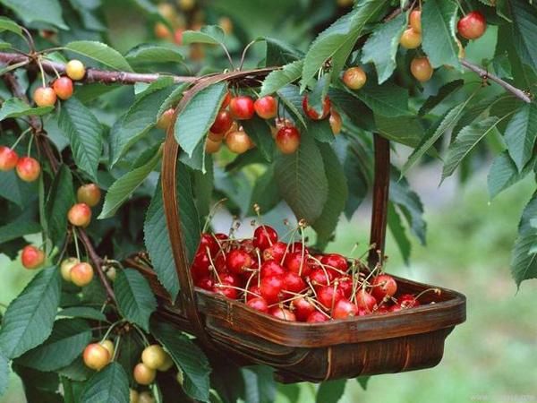 Sau 1 năm có thể thu hoạch được. Khi cây ra quả, trung bình có thể thu được 300 quả cherry mỗi ngày. Sau khi hái nên cho cherry vào tủ lạnh để quả được tươi lâu hơn.