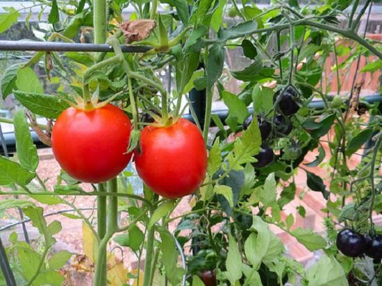 Cà chua là một gia vị không thể thiếu trong nhiều món ăn, lại dễ trồng.