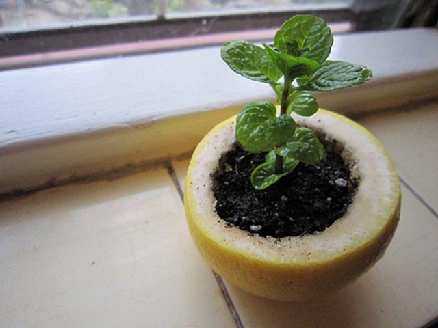Chỉ cần đục một cái lỗ ở dưới cùng của vỏ để thoát nước, đặt vào đó đất trồng và gieo hạt vào, rắc thêm chút nước. Khi cây con đã sẵn sàng để cấy ghép, hãy trồng trực tiếp trong vườn với chiếc vỏ ban đầu. Vỏ sẽ phân hủy và nuôi dưỡng cây non khi nó mọc lên.