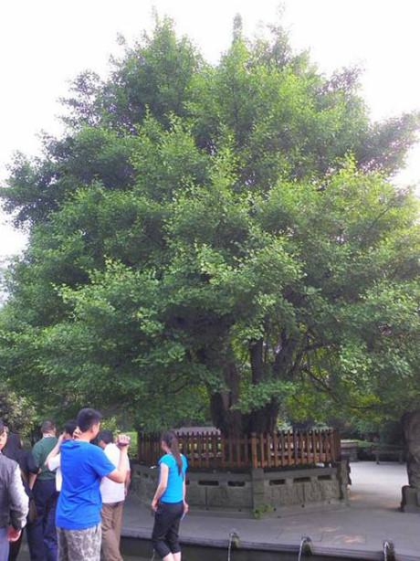 Hình ảnh diễn viên cây nhân sâm trong phim Tây Du Ký tại Tứ Xuyên, Trung Quốc.
