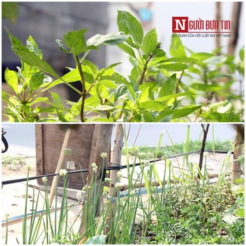 Những cây gia vị như hành, hương nhu... cũng được trồng.