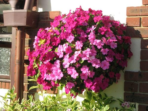 Mai địa thảo hoa xum xuê, rực rỡ, hoa nở hầu như quanh năm, cây ít bị sâu bệnh, ưa sáng, đất cần thoát nước tốt.