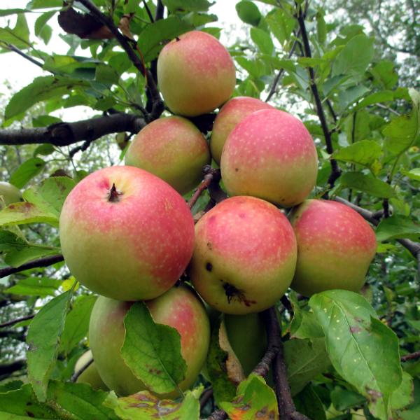 Ngoài để ăn trực tiếp ra, giống táo này còn được sử dụng nhiều trong việc làm bánh.