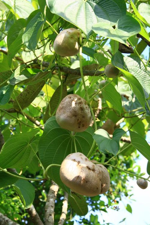 Những năm 1905, giống khoai này được gửi đến Florida (Mỹ) để nghiên cứu như là một cây thuốc và bây giờ nó có thể được tìm thấy ở nhiều nơi trên khắp Florida, Louisiana, Mississippi, Texas, Hawaii, Puerto Rico và ngay cả ở Việt Nam.