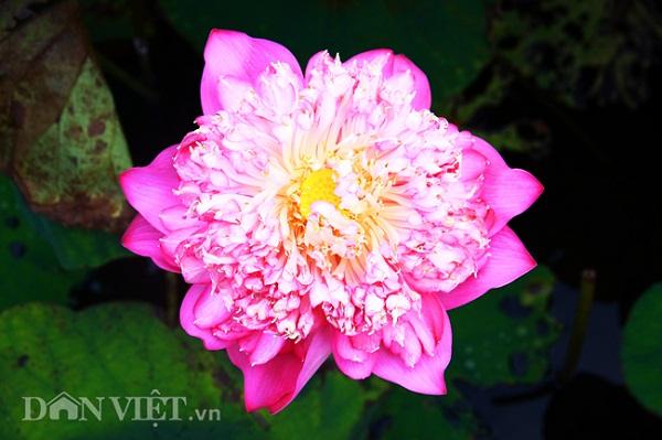 Sen Bách Diệp (sen Quan âm) có nguồn gốc từ Thái Lan. Nụ sen hình cầu, khi nở bông to bằng chiếc bát ăn cơm, ngoài lớp cánh to, còn có hàng trăm cánh hoa nhỏ xếp bên trong. Loài hoa này nở khoảng nửa tháng mới tàn.