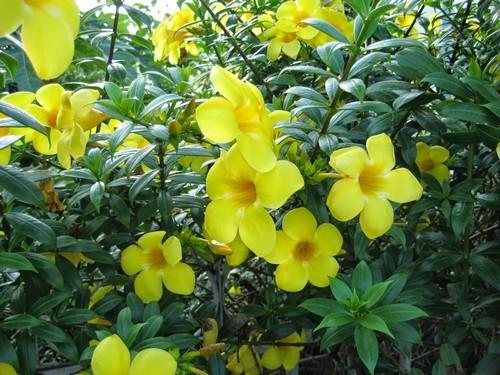 Cây đai vàng (còn gọi là dây huỳnh, huỳnh anh) (tên khoa học là Allamanda cathartica L.)