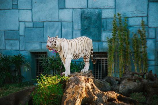 Hổ trắng Bengal quý hiếm tại Vườn Quý Vương