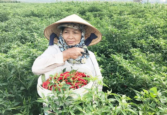 Giá ớt trái tươi trồng hiện chỉ còn khoảng 2000 đồng/kg