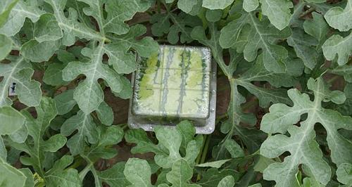 Những loại hoa quả có hình dạng lạ thường có giá gấp 10 lần thông thường , hay được dùng để đem biếu, bày trong nhà dịp Tết. Cách đây vài năm, chúng thường được bán giá bạc triệu.