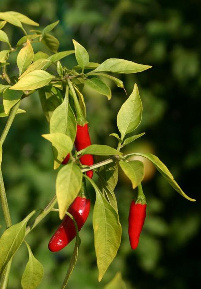 Vừa đơn giản lại dễ trồng, cho quả sai trĩu, tội gì không trồng 5 loại cây chậu treo cho nhà chật nhỉ?