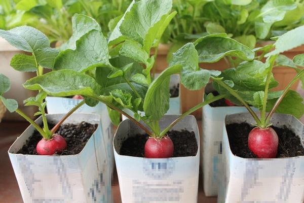 Bên cạnh củ cải trắng, các chị em có thể áp dụng cách trồng tương tự với củ cải đỏ. Đồng thời, thùng xốp cũng có thể được thay thế bằng chậu.