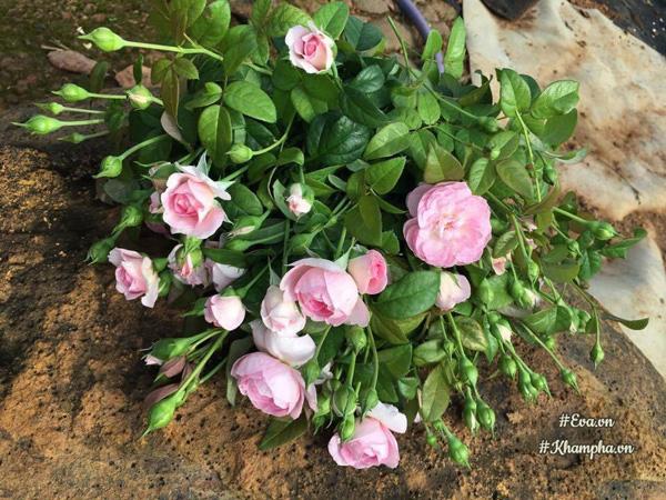 Mê mẩn vườn hoa hồng hơn 2.500 gốc của chàng trai Đồng Nai ...