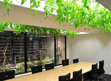 Những giàn rau được treo ngay phía trên bàn họp.