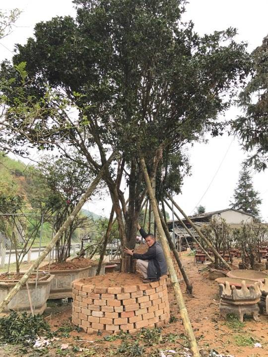 Có cây thân cao tới gần chục mét