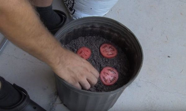 Bước tiếp theo, đặt các lát cà chua vừa thái vào xô hoặc chậu đã có sẵn đất, đặt cách đều nhau và cách đều thành chậu.