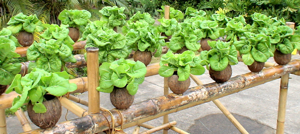 hydroponics plant essay Hydroponics essayhydroponics is a subset of hydro culture and is a method of growing plants using mineral nutrient solutions, in water, without soil it is not a new invention, but its popularity is currently increasing drastically.