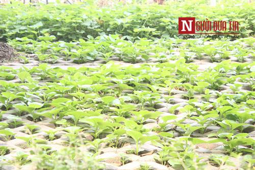 Những cây rau xanh mơn mởn được trồng trong hốc bê tông.