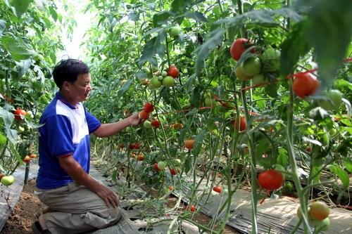 Vườn cà chua Sakata của ông Nhã sai trĩu quả. Ảnh: Hoài Thanh