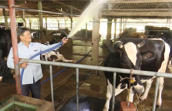 Công việc dù khá nhàn hạ, tuy nhiên, cũng cần đến 6 người chăm sóc 65 bò sữa