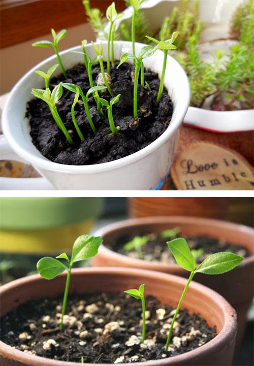 Cứ cách khoảng 1 ngày, bạn lại tưới vừa đủ nước cho cây 1 lần để giữ độ ẩm cho đất.